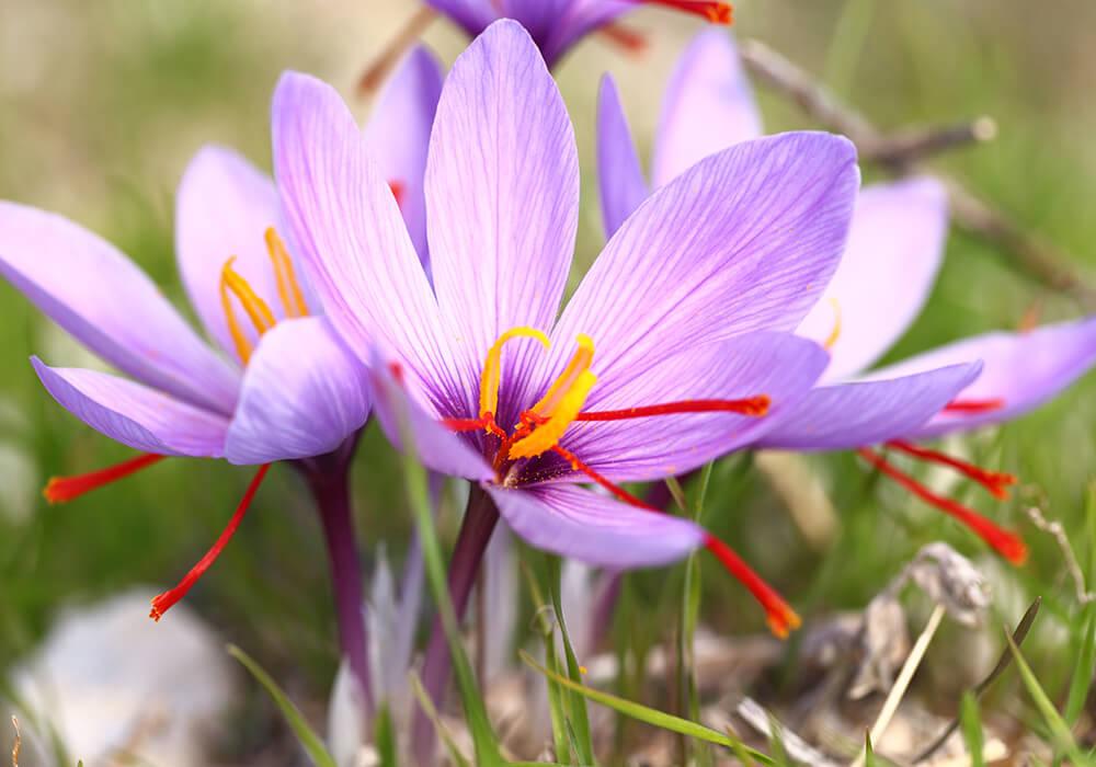 Grow Organic Saffron at home